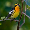 Blackburnian Warbler (Dendroica fusca) Image taken at Fields Pond in Holden, Maine.