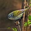 Nashville Warbler ( Vermivora ruficapilla)