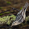 Black and White Warbler (Mniotilta varia). Image taken at the High Island Texas, Houston Audubon Society facility during migration.
