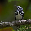 Black and White Warbler. Image taken at our camp on Parks Pond in Clifton, Maine.