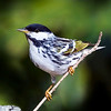 Blackpoll Warbler (Dendroica striata) male. Image taken in Atlantic Beach, Fl. This bird spends its summers in Northern Canada.