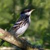 Blackpoll Warbler (dendroica striata).