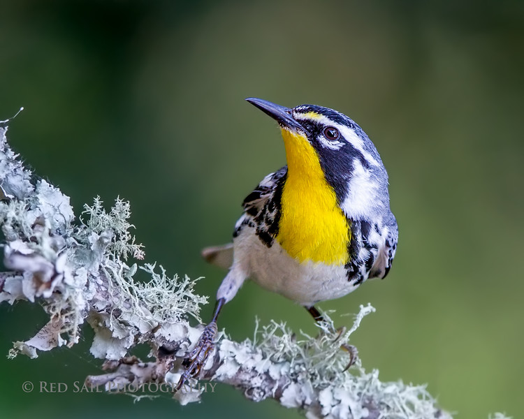 Yellow-throated male Warbler