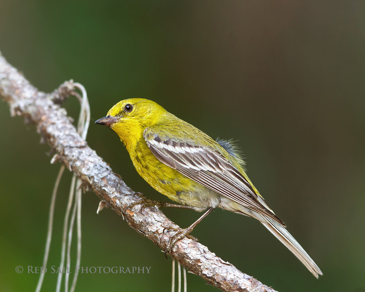 Pine Warbler at Dutton Island