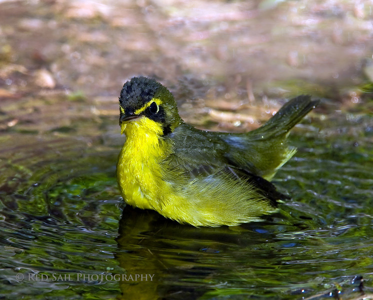 Kentucky Warbler bathing in a puddle of water. Taken from the barn at the Houston Audubon's, High Island facility.