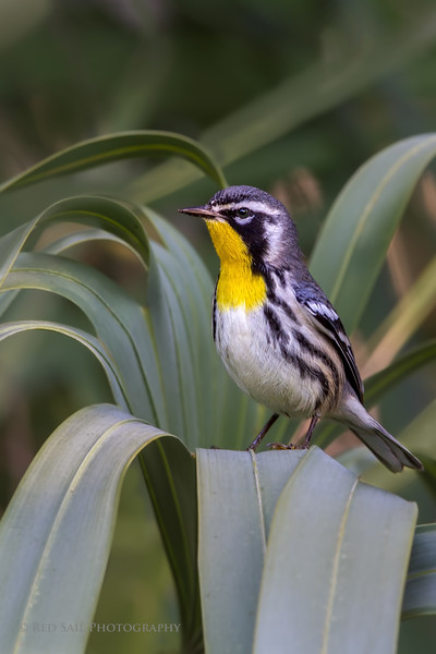 Yellow-throated Warbler in a Fountain of Palm