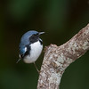 Black-throated Blue..