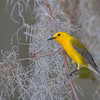 Prothonotary Warbler in Moss