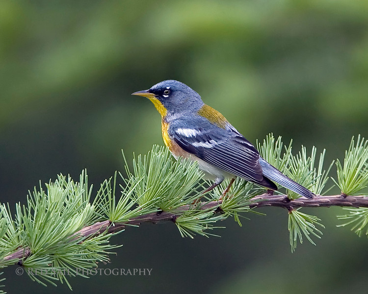 Northern Parula (Parula americana). Image taken at Fields Pond Audubon facility near Bangor, Maine