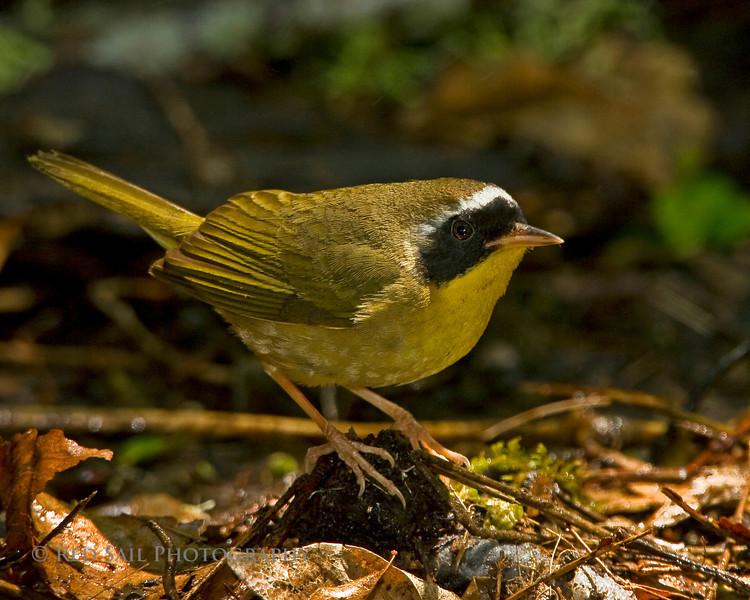 Common Yellowthroat Warbler, male (Geohlypis trichas)