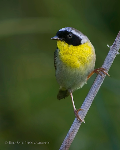 Common Yellowthroat (Geothlypis trichas). Took this image at Fields Pond in Holden, Maine.