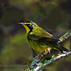 Kentucky Warbler (Oporornis formosus) male..