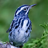 Black and White male Warbler