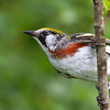 Chestnut-sided Warbler up close