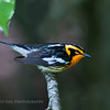 Blackburnian Warbler. Image taken at our camp on Parks Pond in Clifton, Maine.