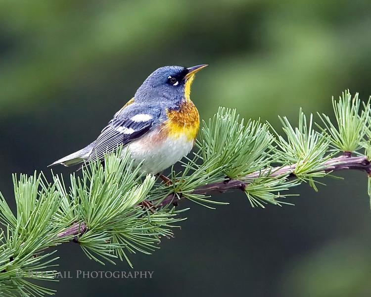 Northern Parula (Parula americana). Image taken at Fields Pond Audubon facility near Bangor, Maine.
