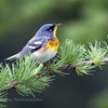 Northern Parula (Parula americana). Image taken at Fields Pond Audubon facility near Bangor, Maine.