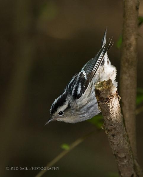 Black and white Warbler (Mniotilta varia)