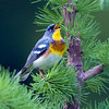 Northern Parula (Parula americana). Image taken at Fields Pond Audubon facility near Bangor Maine.