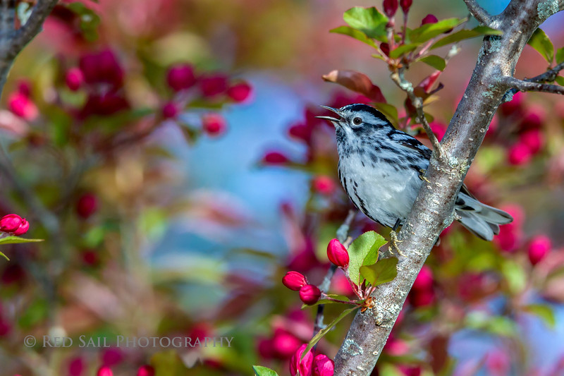 Black & White Warbler in Blossoms