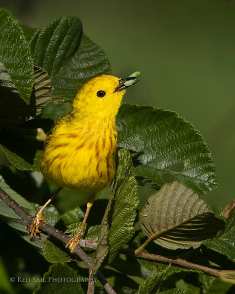 Yellow Warbler with worm.