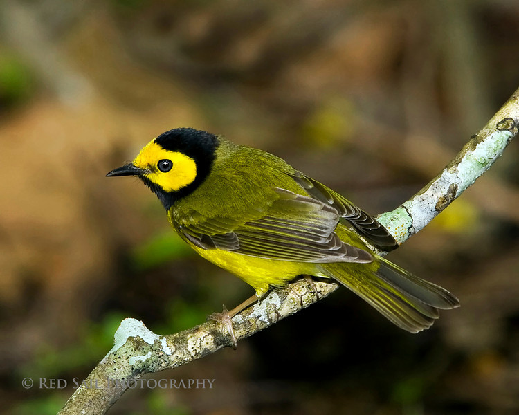 Hooded Warbler (Wilsonia citrina) male.