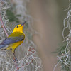 Prothonotary Warbler in Spanish Moss