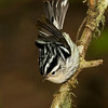 Black and white Warbler (Mniotilta varia).