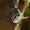 Black and white Warbler (Mniotilta varia).