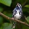 Black and White Warbler. Took this shot near Parks Pond in Clifton, Maine.