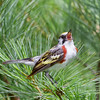 Chestnut-sided Warbler in Pine