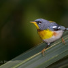 Northern Parula on Palm