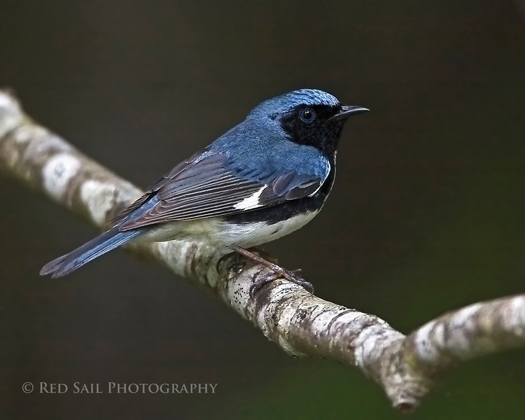 Black-throated Blue Warbler. Image taken at Parks Pond in Clifton, Maine.