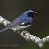 Black-throated Blue Warbler. Image taken at Parks Pond in Clifton, Maine.