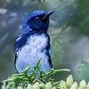Black-throated Blue male Warbler