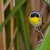 Common Yellow-throated male Warbler