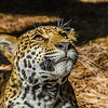 Jaguar (10 Months Old)