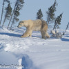 Wat'Chee Expedition : A Mother Polar bear with her triplets. This place used to be a secret among wildlife photographers but not any more.  I had to ask how the Chinese photographers heard about this place. The response is: word of mouth. And China is located on the other side of the planet. This particular trip is high risk because there is no guarantee that you will see bears. I had nine possible shooting days and got bear sightings for three days.(2 days bad weather and 4 days of nothing)  I was very lucky. Remember: Wat'Chee provides you the opportunity  to shoot the babies. Most of my shots were done at ISO 200 but did have to go up 6,400 in order to keep my shutter speed up. Some of the early shots were done in the shade(blue light) and high ISO. I do not own a drop in warming filter for the 600mm so I had to tweak the color in Lightroom. Wat'Chee is located about 40 miles south of Churchill, Manitoba. You have to take the VIA Rail and get off at Chesnaye which is a spot where the train stops. There is nothing there that would indicate it is an official train stop. From there, you ride in a modified vans and travel about 7 miles to the lodge. March 9th- The mother was just teasing us by peeking out of the den or sticking her nose up in the air. 10th- bad weather. March 11th- the Mother was comfortable so she came out of the den and eventually her cubs. the 12th- bad weather. March 13th, Mother and cubs already left their den. www.watchee.com Of note: these bears of Hudson Bay are going to be the first to die off due to climate change which is shortening their feeding season. The Mother bears must have enough fat reserves to provide nourishment for the cubs and for herself while she goes without food for about eight months. If you want to help these bears one way or another: Here is a link:http://www.polarbearsinternational.org/about-us