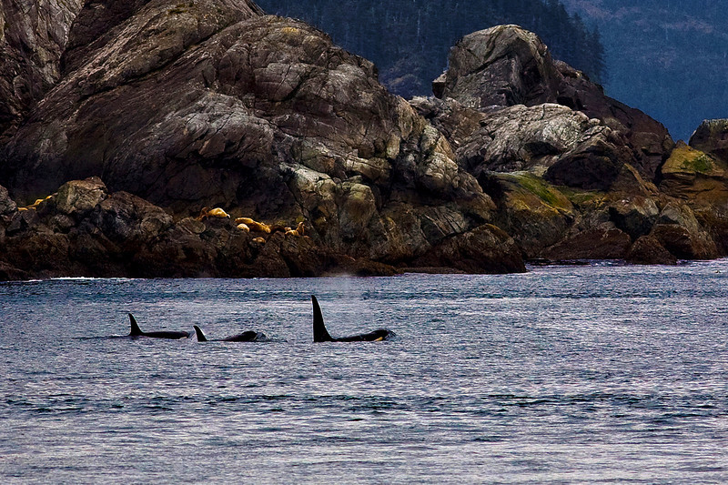 Orcas and seals