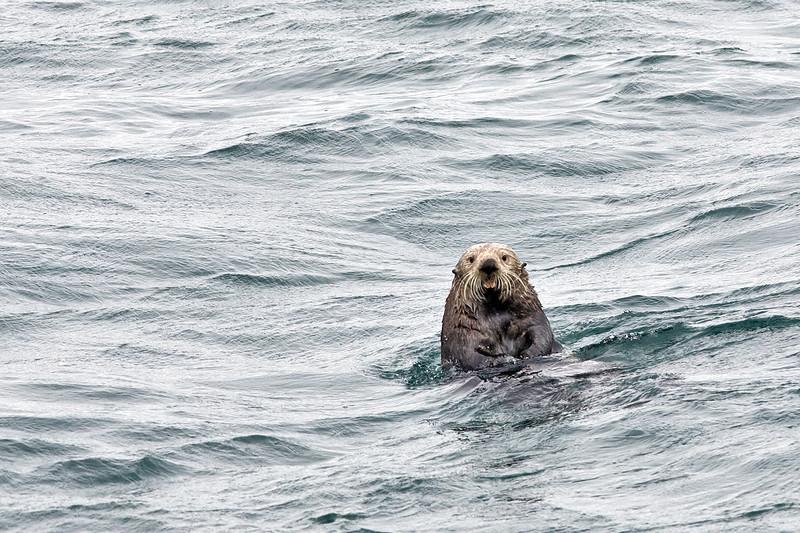 Playful sea otter