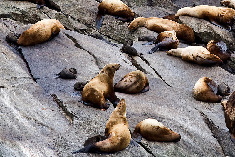 Sea lions and pups