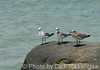 2012-Sept-02-Gulls1_010