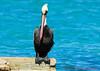 August-04-2013-Pelican6