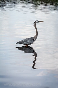 Great Blue Heron Strolls the Pond