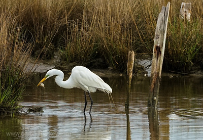 Great White Egret hunting for Crabs