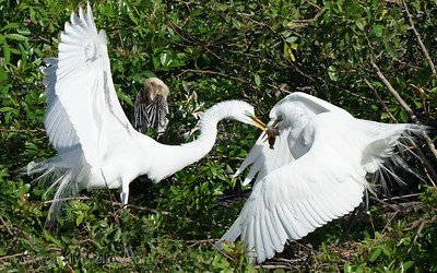 Egrets and Fish