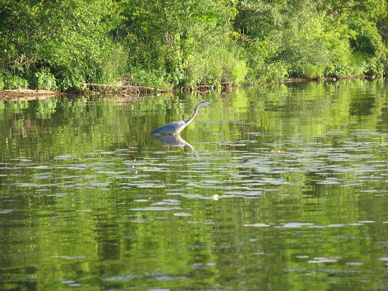 Blue Heron hunting Blue Gill - Lake Nockamixon - June 2007