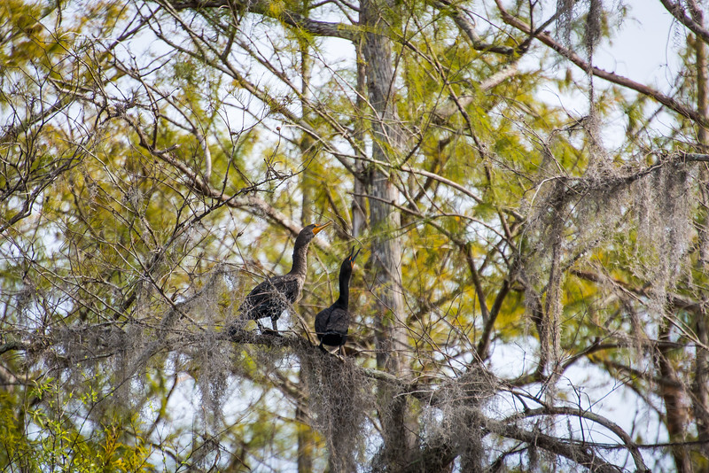 Pair of Double-Crested Cormorants making lots of noise at Big Cypress National Preserve, FL - January 2018