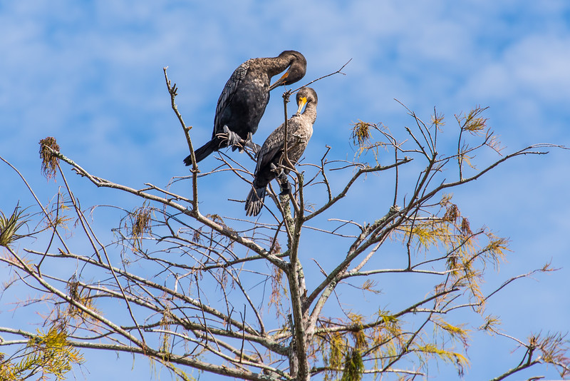 Pair of Double-Crested Cormorants at Big Cypress National Preserve, FL - January 2018