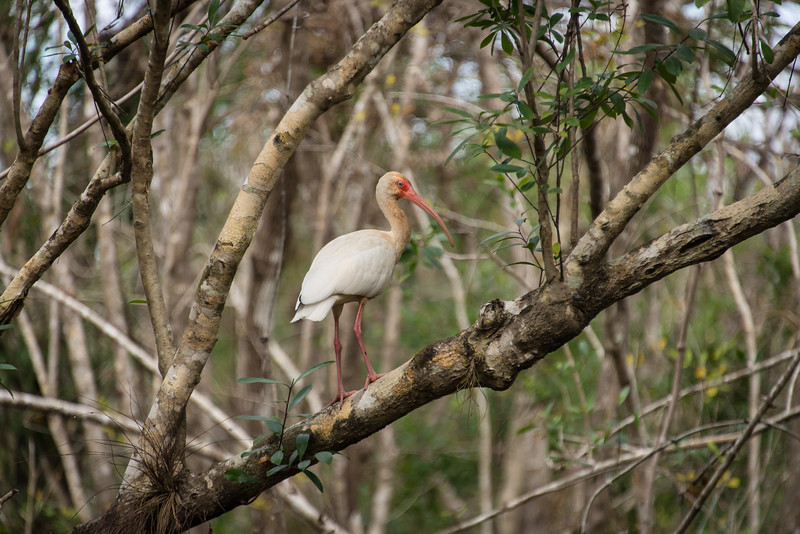 White Ibis at Fakahatchee Strand Preserve State Park, FL - January 2018